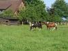 pferde21